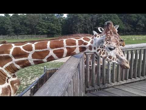 Feeding Giraffes at Safari Off Road Adventure in Six Flags Great Adventure in New Jersey