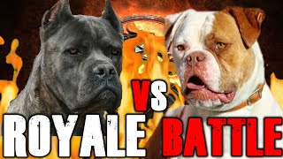 Cane Corso vs American Bulldog | American Bulldog vs Cane Corso | Powerful Guard Dog?