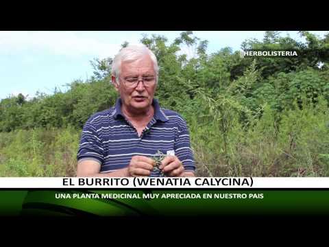 HERBOLISTERIA: EL BURRITO, CULTIVO, CUIDADOS Y UTILIDAD