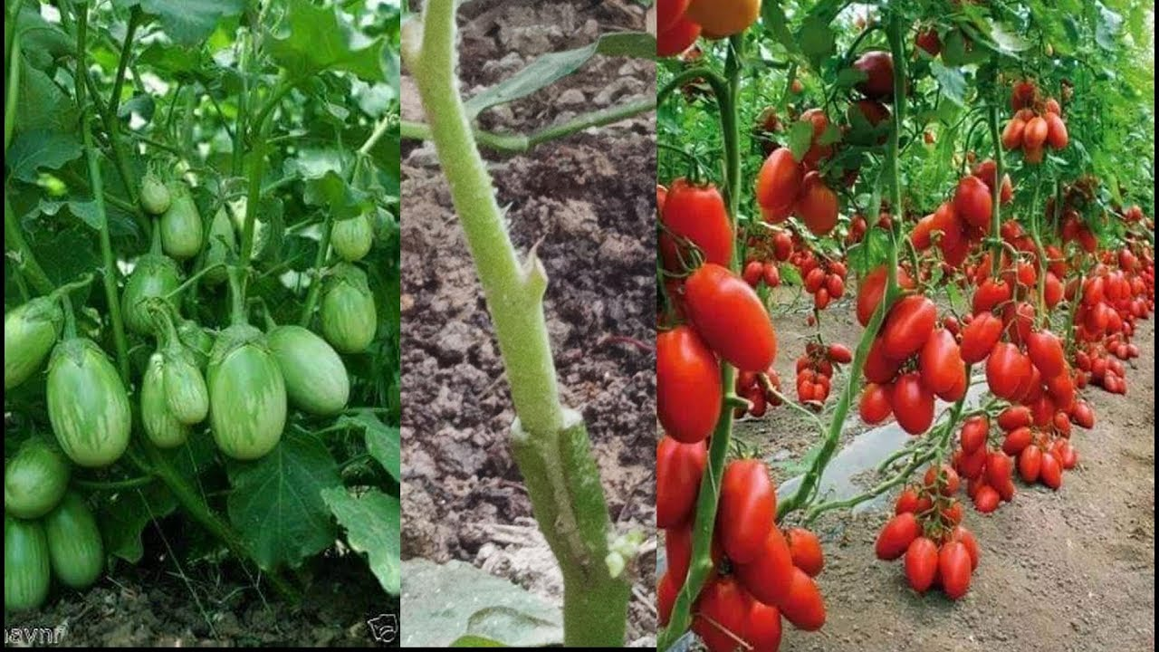 Tomato Grafting On Eggplant Agri Cambo Youtube