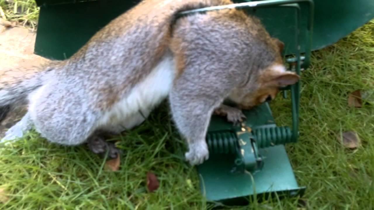 Squirrel Caught In A Fenn Box Www Greysquirrelcontrol Co