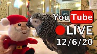 🔴🐦Einstein Parrot LIVE! 12/6/20 Merry Corn Cheer!