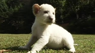 Rare white lion cubs make media debut in South Korea - no comment