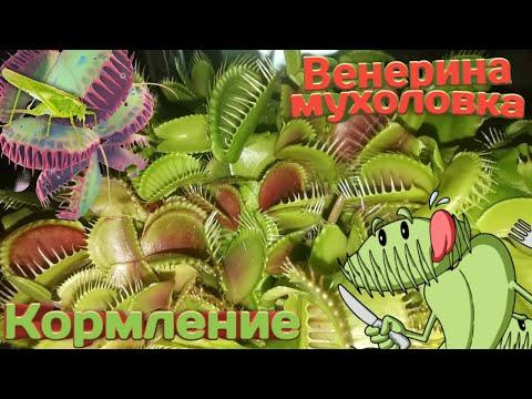 Кормление венерины мухоловки насекомыми. Полив