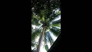 Lihatlah cara pemetik kelapa ini turun sangat tidak wajar...
