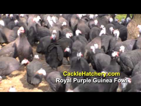 Royal Purple Guinea Fowl (Breeder Flock) | Cackle Hatchery