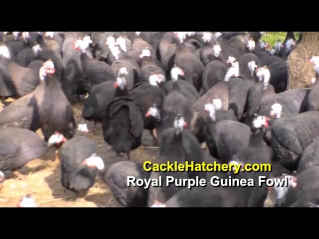 Royal Purple Guinea Fowl (Breeder Flock) | Cackle Hatchery