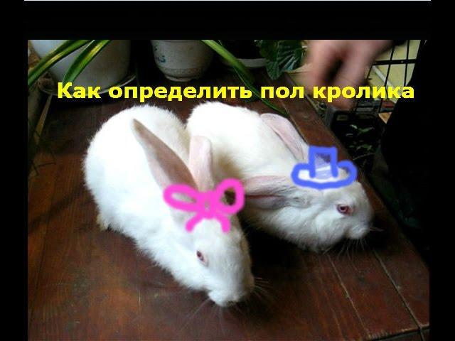 Пол кролика