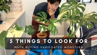 Ep 1: 5 Things to Look for in Variegated Monstera