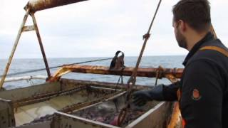 Sea cucumber fishing in Iceland