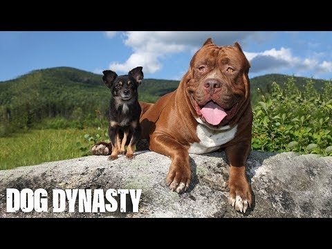 Hulk & The Chihuahua With The Pit Bull Attitude: DOG DYNASTY