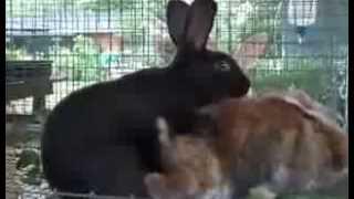 Кролики трахаются быстро часто и много