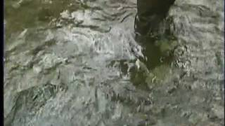 Concern Over Salmon in Goldstream River