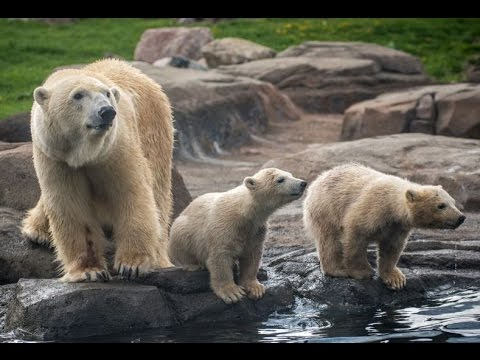 Twin Polar Bear Cubs First Appearance At Columbus Zoo