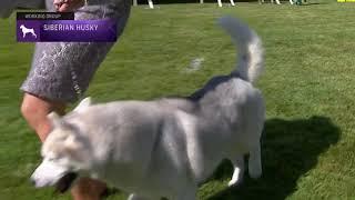 Siberian Huskies   Breed Judging 2021