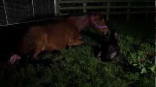 Foaling season at Waikato Stud (WARNING CONTAINS GRAPHIC MATERIAL)