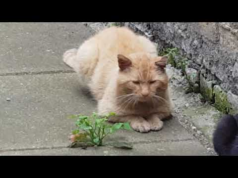 3 Male cats vs 1 female (black cat) fighting for domense