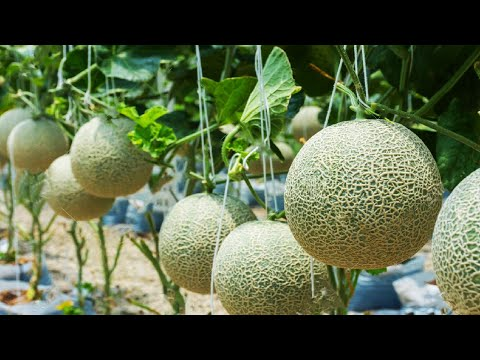 Awesome Hanging Hydroponic Melon Greenhouse - Japan Agriculture Technology - Hanging Melon Harvest