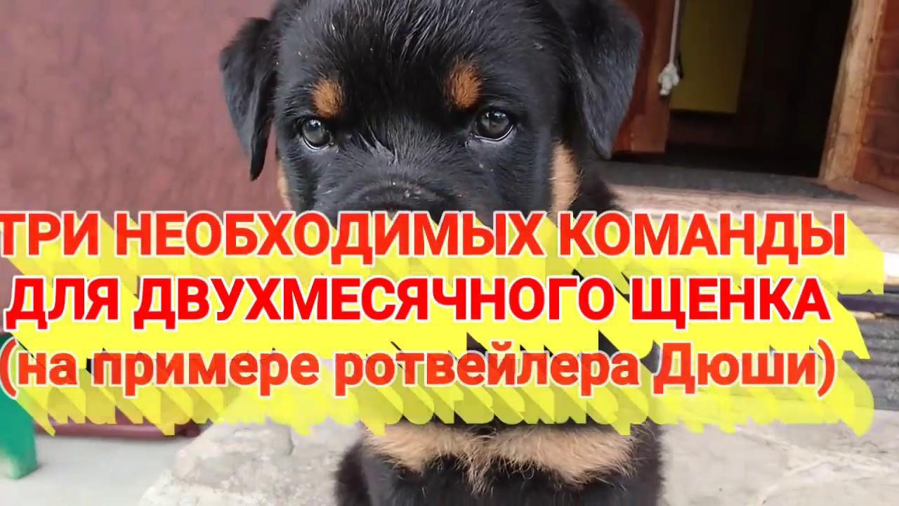 фото щенка ротвейлера.