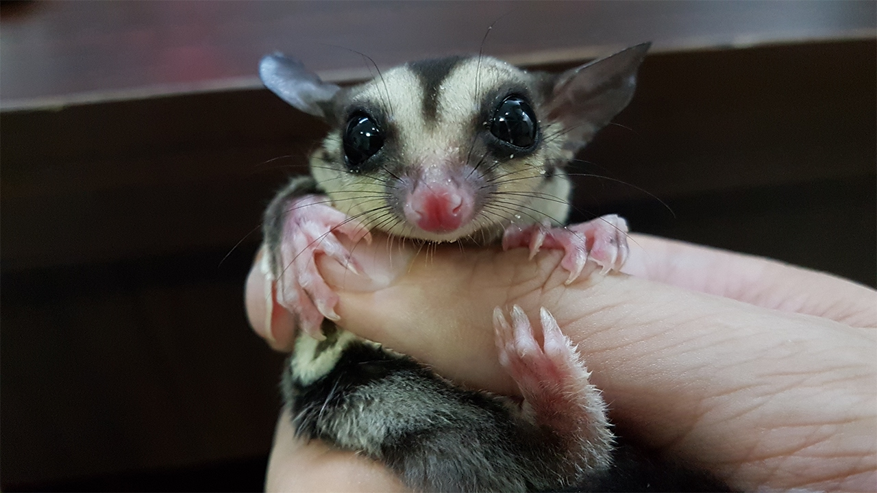 Image result for sugar glider axel the key