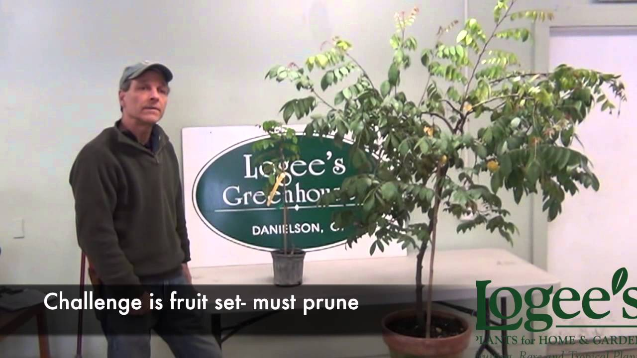 Growing and Pruning Starfruit Part 1 of 2 - YouTube