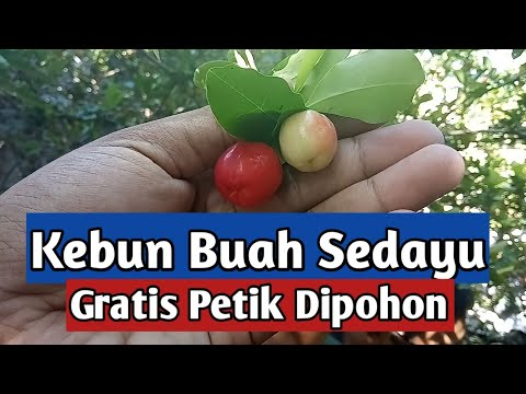 🔴-kebun-buah-sedayu-yogyakarta-l-agro-wisata-jogya-l-youtuber-kampung