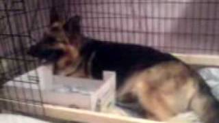 German shepherd whelping - angel and her 1st puppy - naomi matthews