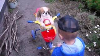 Собака пекинес на велосипеде.