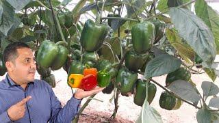 زراعة الفلفل زراعة الفلفل الحلو في المنزل زراعة الفلفل الرومي في الشالية و الاصيص Youtube