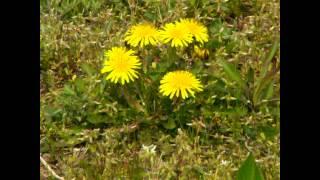 朝のウオーキングで見る花.