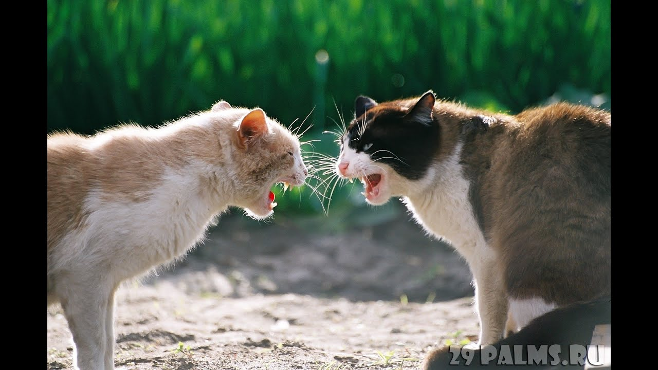 Видео кошка ругается на кота