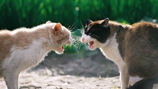 Смешные видео приколы про кошек! Кошка ругает другую кошку!