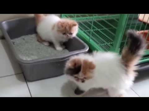Anak Kucing Persia Belajar Pup Doovi