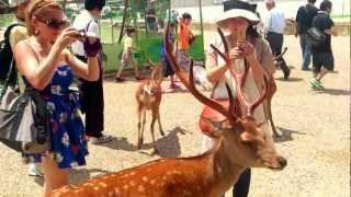 奈良 女高中生餵鹿示範 (1080i) thumbnail