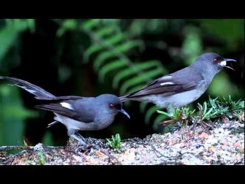 download suara terapi untuk burung burung, suara air mengalir