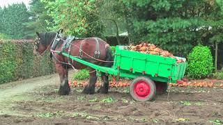 Лошадь тяжеловоз, собирают  урожая.