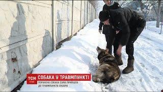 У столиці поранена собачка самостійна прийшла до травмпункту лікарні