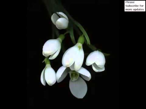 White Snowdrop | Beautiful White Color Folwer Pictures