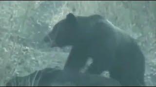 棕熊捕殺野豬Grizzly hunts wild boar.