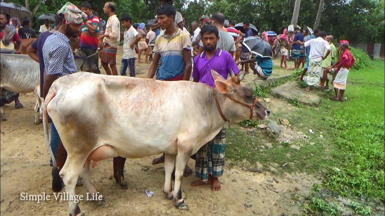 914| কম দামে বাচ্চাসহ উন্নত জাতের গাভী ও দেসি গাভী কিনুন | Cows Market price -21 August 2020
