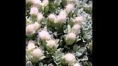 Кошачья лапка двудомная (Antennaria dioica). - YouTube