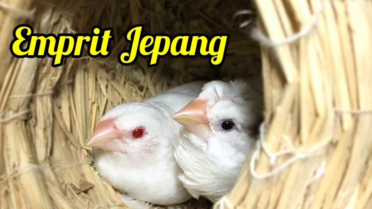 Mengenal Burung Emprit Jepang Beserta Harganya
