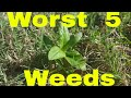 5 Worst Weeds in the Lawn for Weed Control