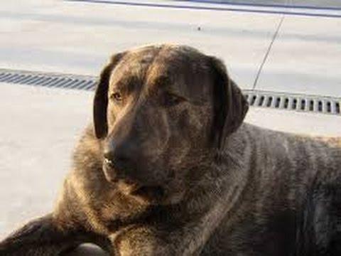 Castro Laboreiro Dog - (Cão de Castro Laboreiro) Dog Breed