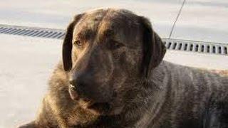 Popular Videos - Castro Laboreiro & Pets