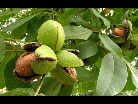 Посадка грецкого ореха - YouTube