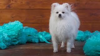 Картинка собака. Белый, собака, шпиц, доски, украшения, мордашка, бумага, щенок.