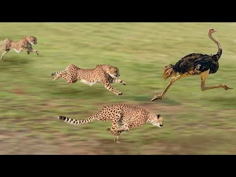 Best attacks of panther | Cheeta | Leopard | Discovery scien