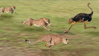 Best attacks of panther | Cheeta | Leopard | Discovery science hindi |HD| By Discovery science india thumbnail