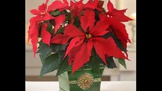 видео Как ухаживать за цветком рождественская звезда